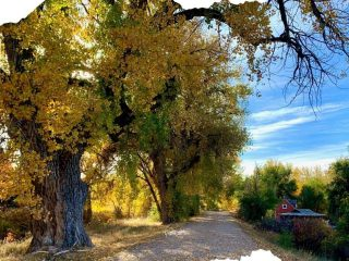 large cottonwood trees on a trail with a farmhouse in the distance.