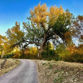 image of dirt trail, with split rail fence on left. Giant Cottonwood tree turning golden in autumn
